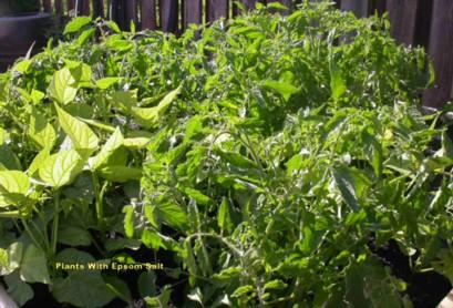 Why I Use Epsom Salt In The Garden